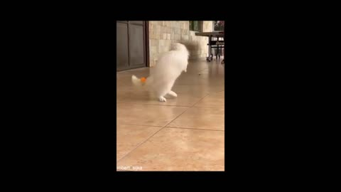 Dog is running and playing with ball