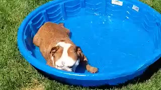 Cute Bulldog cools off on a hot summer day