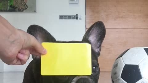 French Bulldog Wants to be a Football Referee