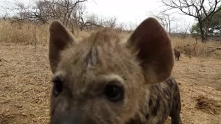 Cute and curious hyena cubs approach photographer - Video