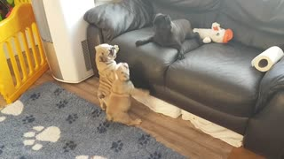 Bulldog Pups Play with Pug