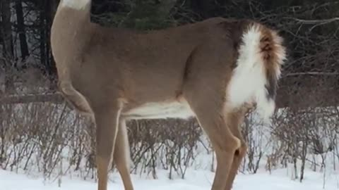 Deer stops running when stranger comes out of house
