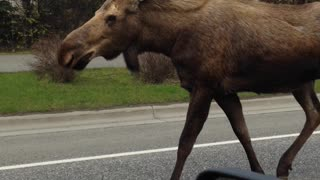 Mama Moose And Her Young Get Police Escort Off The Road