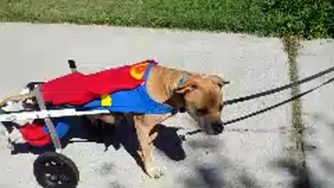 Paralyzed dog in wheelchair dresses as Superman for Halloween