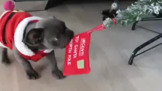 Naughty puppy is the Frenchie that stole Christmas!