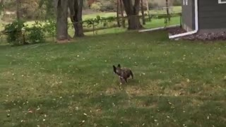 Brown dog not fetching tennis ball - Video