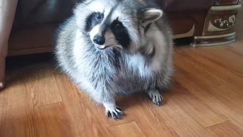 Pet raccoon struggles to react treat on top of his head