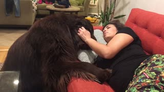 Newfoundland tries his best to make owner feel better - Video