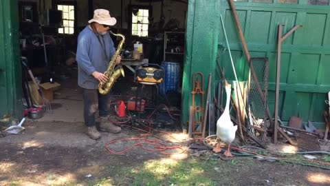 Watch this goose jamming out to a farmer's jazzy sax solo