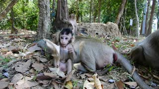 Cute Baby Monkey At Angkor Wat Cambodia