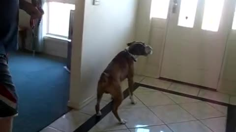 Dad asked if he wanted to go for a walk, then this boxer had the funniest reaction