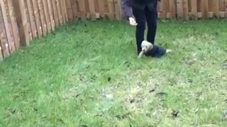 Collab copyright protection - tan dog blue sweater grass faceplant - Video