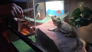Bearded Dragon highly dialed in for feeding time - Video