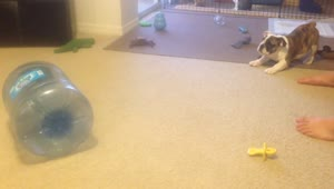 Cautious puppy confronts a water jug - Video