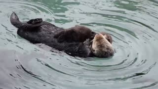 Female sea otter grooms 1 day old baby - Video