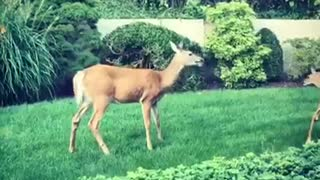 Deer goes crazy backyard