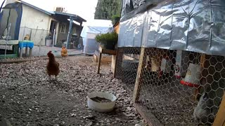 Chicken jumps fence alerts guards of escape