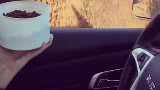 Feeding a buffalo from driver seat - Video