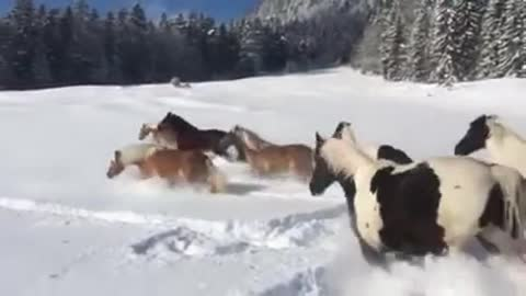 Horses play in the snow just like a bunch of kids