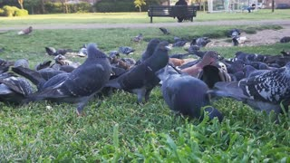 Very cool video of a group of pigeons eating in the garden