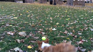 Welsh Corgi Puppy Plays Fetch