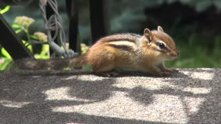 Baby Chipmunk Yawns on Front Porch - Video