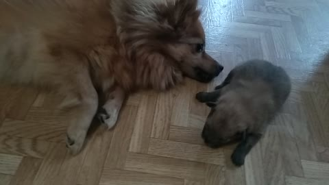 Big dog plays with new born puppy
