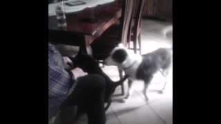 Cat attacks dog - Video