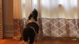 "Howling dog pulls off the perfect ""awooo"""