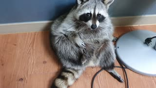 Raccoon sits like a human and suddenly wakes up crying.