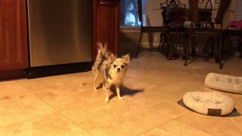 Merle Chihuahua makes fetch happen any time she can