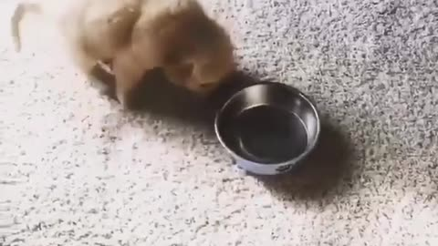 dog moves around with his plate for food