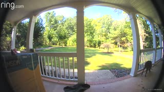 Dog Discovers Doorbell Cam