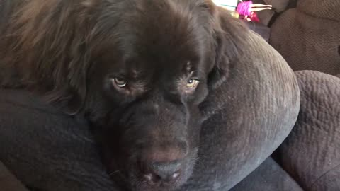 Newfoundland tries to fool owner with sad puppy eyes