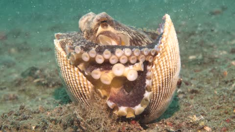 Coconut Octopus Walking with a Shell