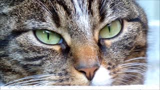 Cat Pretend To be Tiger In Eye Looking