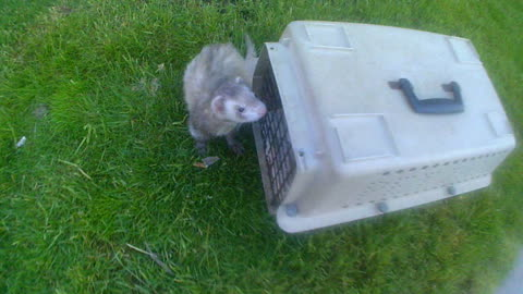Ferret On The Loose At City Center