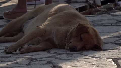 A labrador wants to take a nap in the middle of a crowded and noisy boulevard.