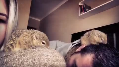 Rescue squirrel and her baby groom their owners