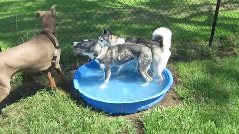 Husky Puppy Hogs The Pool