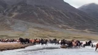 Hundreds of Horses in Iceland