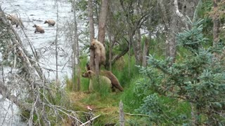 Cub Climbs a Tree - Video