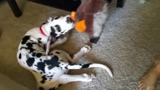 Great Dane puppy takes a ride with his duck