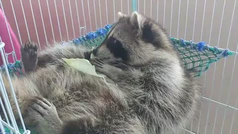 Raccoon is lying on a hammock and eating cabbage.