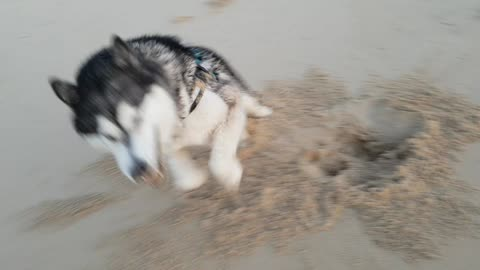 Malamute has the whole beach to himself and makes the most of it!