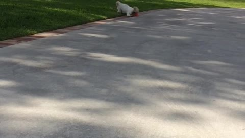 Puppy learns to play fetch with tennis ball that's too big