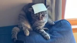 Cat's brain shuts down when owner tosses cheese at it