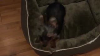 Brown yorkie growling at owner and following him - Video