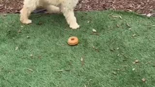 Golden dog has yellow donut toy stuck on his face  - Video