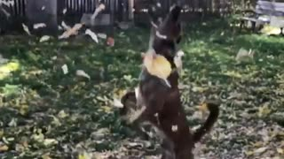 Dog jumps high at falling leaves  - Video